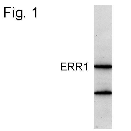 ESRRA Antibody (PA1-314) in Western Blot