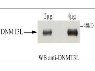DNMT3L Antibody (PA1-31714)