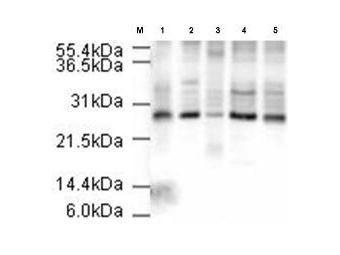 APC10 Antibody (PA1-31765) in Western Blot
