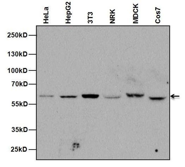 Armenian Hamster IgG Secondary Antibody (PA1-32045) in Western Blot