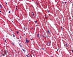 KPNA3 Antibody (PA1-32096) in Immunohistochemistry (Paraffin)