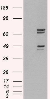 SHP-2 Antibody (PA1-32166) in Western Blot