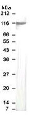 GABBR1 Antibody (PA1-32248)