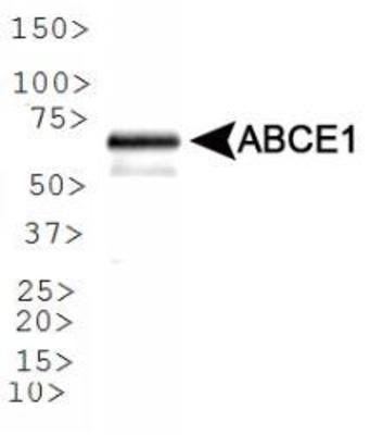 ABCE1 Antibody (PA1-32357) in Western Blot