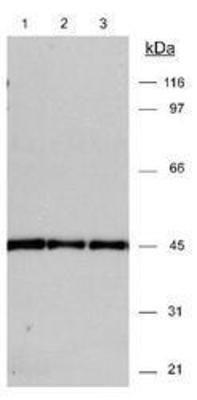 Actin alpha/gamma Antibody (PA1-32416) in Western Blot