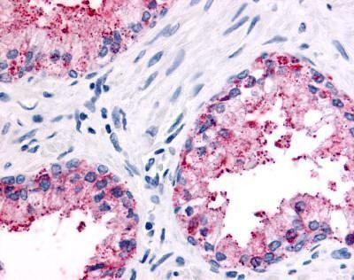 PSGR Antibody (PA1-32873)