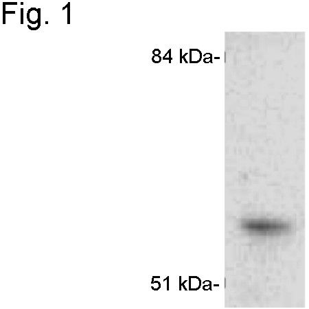 CYP1A1 Antibody (PA1-340) in Western Blot