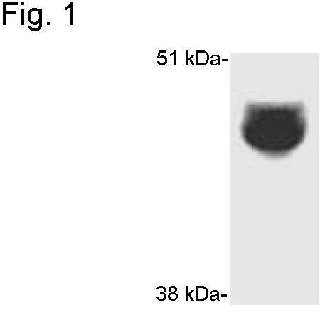 CYP3A4 Antibody (PA1-343) in Western Blot