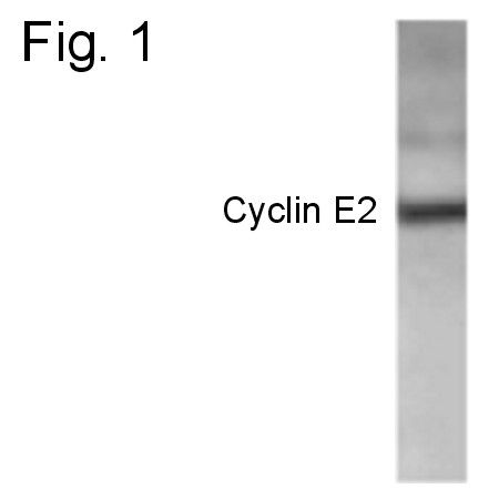 Cyclin E2 Antibody (PA1-4122) in Western Blot