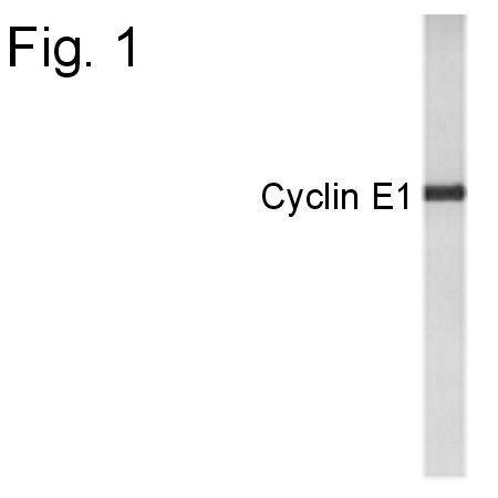 Cyclin E Antibody (PA1-4123) in Western Blot