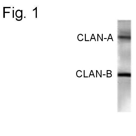 NLRC4 Antibody (PA1-4264)