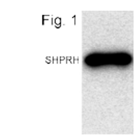CENPI Antibody (PA1-4315)
