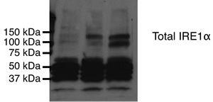 IRE1 alpha Antibody (PA1-46027)