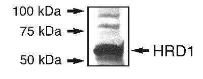 HRD1 Antibody (PA1-46121)