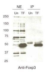 FOXP3 Antibody (PA1-46126) in Western Blot