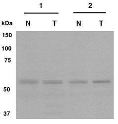 CRG-L2 Antibody (PA1-46144)
