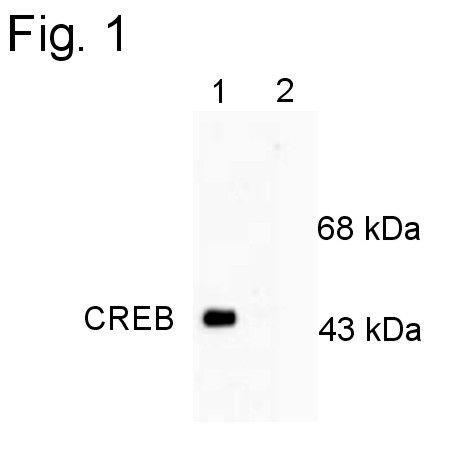 Phospho-CREB (Ser133) Antibody (PA1-4619) in Western Blot