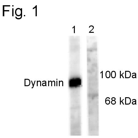 Phospho-Dynamin 1 (Ser778) Antibody (PA1-4621)