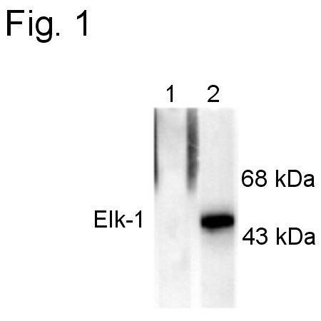 Phospho-ELK1 (Ser383) Antibody (PA1-4625)