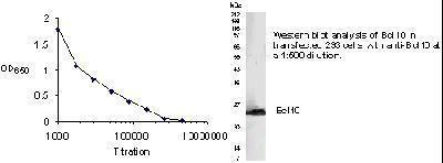 Bcl-10 Antibody (PA1-46270) in Western Blot