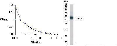 IKK gamma Antibody (PA1-46290)