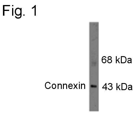 Connexin 43 Antibody (PA1-4649) in Western Blot