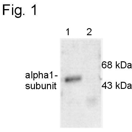 GABRA1 Antibody (PA1-4658)
