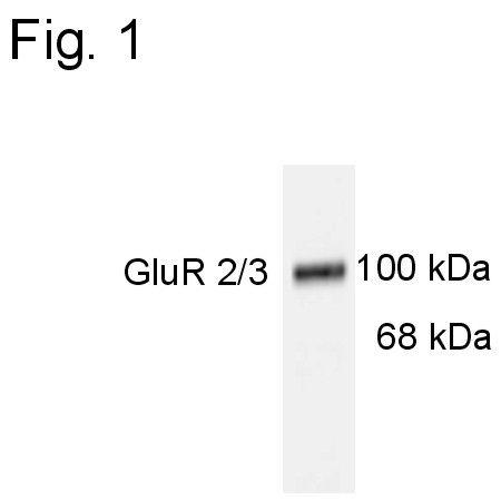 GluR2/GluR3 Antibody (PA1-4660)