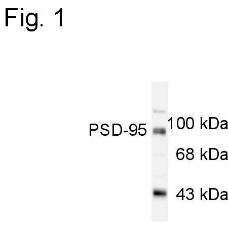 PSD95 Antibody (PA1-4667)