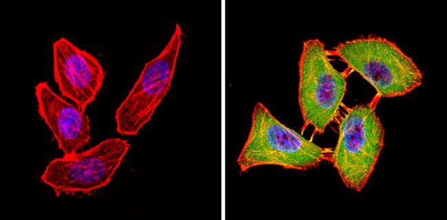 CLOCK Antibody (PA1-520) in Immunofluorescence