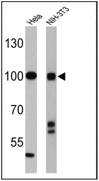 CLOCK Antibody (PA1-520) in Western Blot