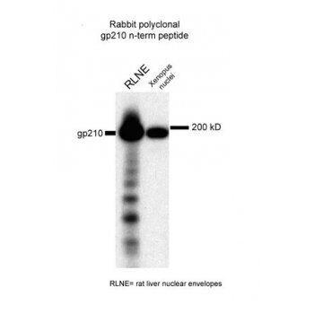 gp210 Antibody (PA1-5781) in Western Blot
