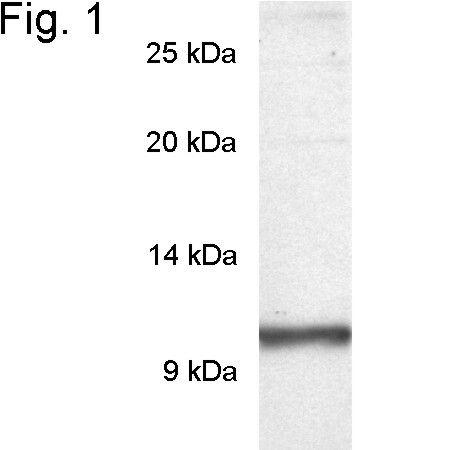 PDE6G Antibody (PA1-723)