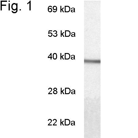 GNAT1 Antibody (PA1-724) in Western Blot