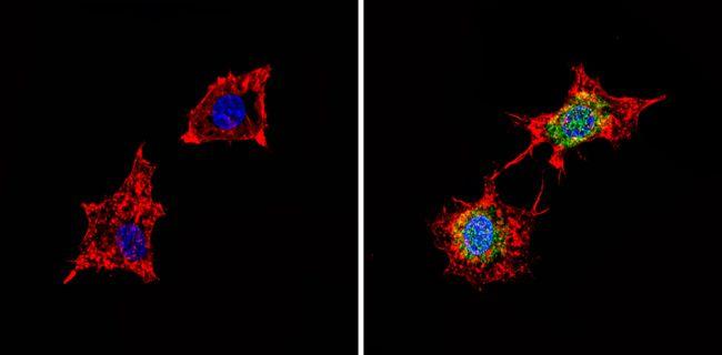 PDE6D Antibody (PA1-726)