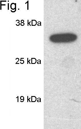 SCAMP1 Antibody (PA1-739) in Western Blot