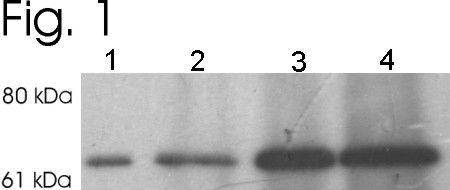 MUNC18 Antibody (PA1-742) in Western Blot