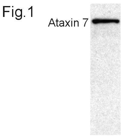 Ataxin 7 Antibody (PA1-749)