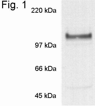Nicastrin Antibody (PA1-758) in Western Blot