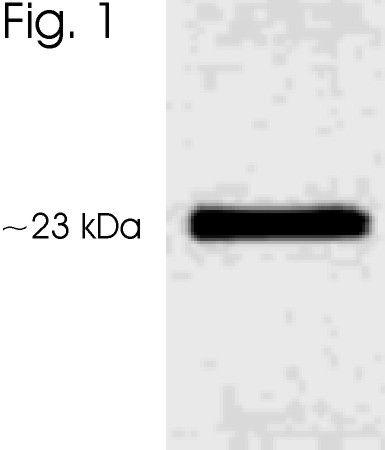Phospho-Serotonin N-AT (Ser206) Antibody (PA1-763) in Western Blot