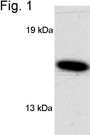 VAMP1 Antibody (PA1-765) in Western Blot