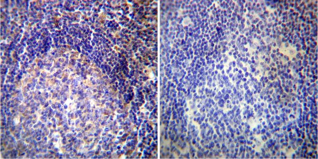 VAMP4 Antibody (PA1-768) in Immunohistochemistry