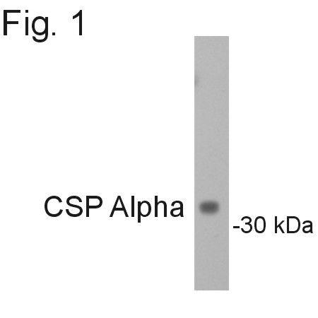 DNAJC5 Antibody (PA1-776) in Western Blot