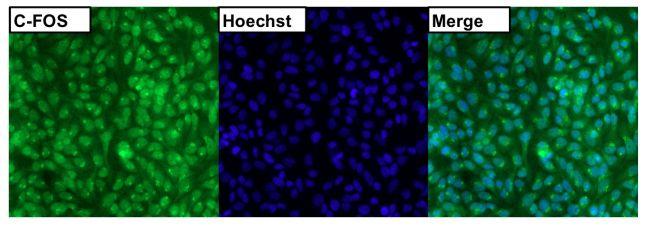 c-Fos Antibody (PA1-830) in Immunofluorescence