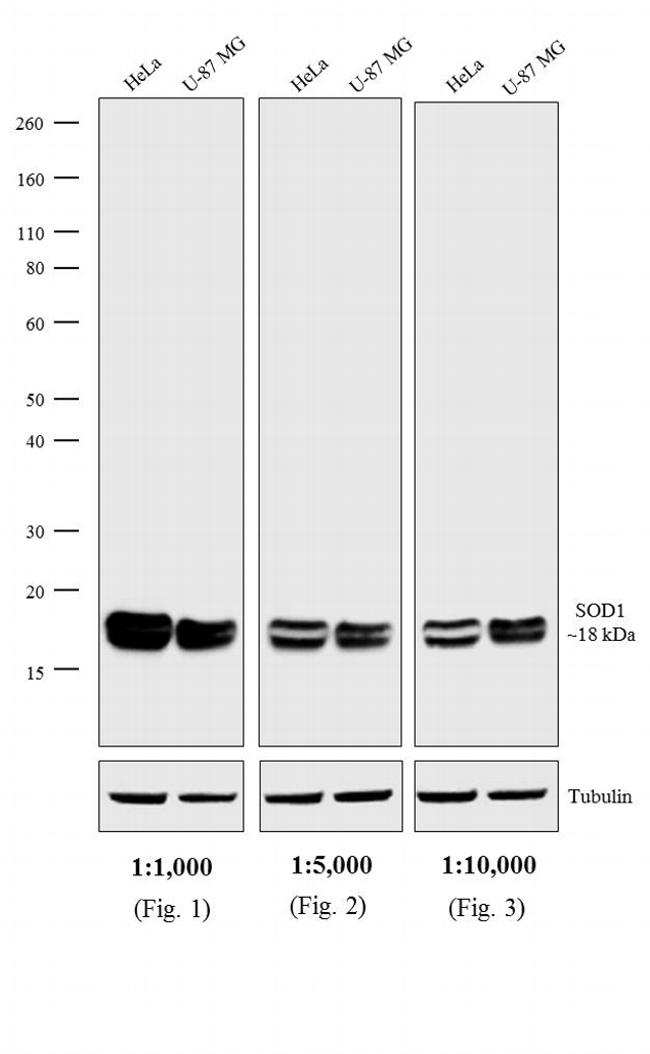 Mouse IgG, IgM, IgA Secondary Antibody (PA1-84388) in Western Blot
