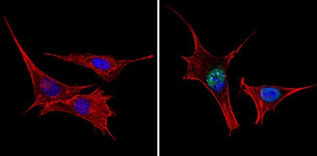 TRIM28 Antibody (PA1-852) in Immunofluorescence