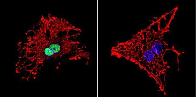 HDAC1 Polyclonal Antibody