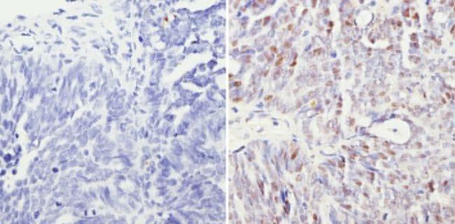 SIN3A Antibody (PA1-870) in Immunohistochemistry (Paraffin)