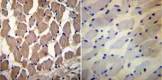 PMCA1 ATPase Antibody (PA1-914) in Immunohistochemistry