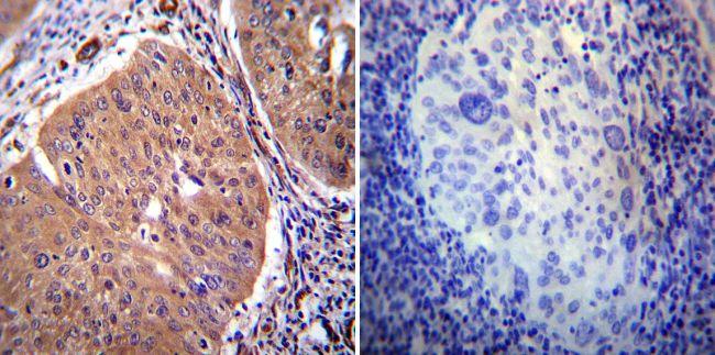 PMCA2 ATPase Antibody (PA1-915)
